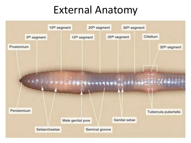 Anatomy of the earthworm