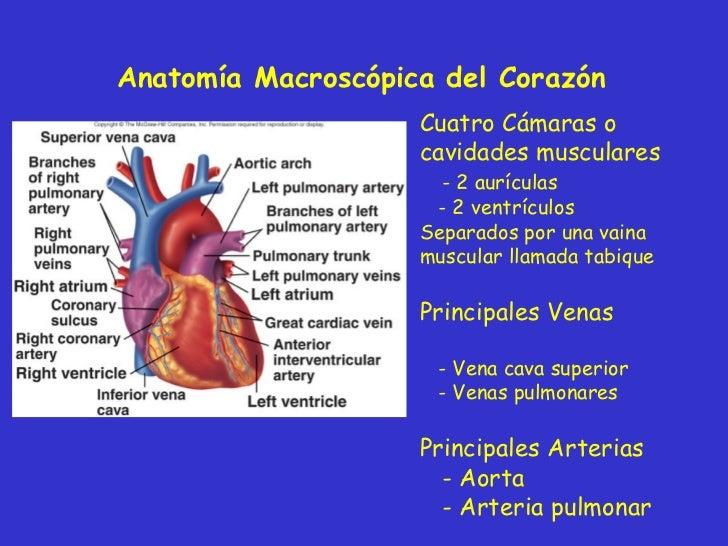 Bonito Anatomía Macroscópica De Los Pulmones Componente - Anatomía ...