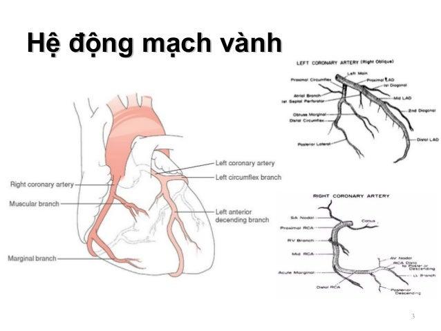 Hệ động mạch vànhHệ động mạch vành 3