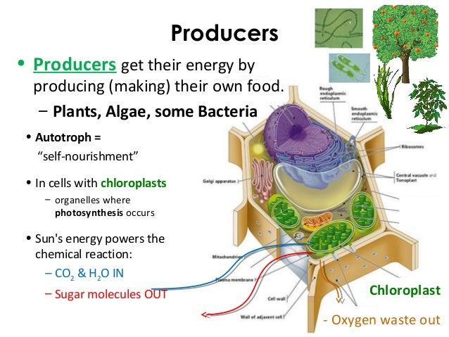 All Heterotrophs Must Eat Food To Get Energy