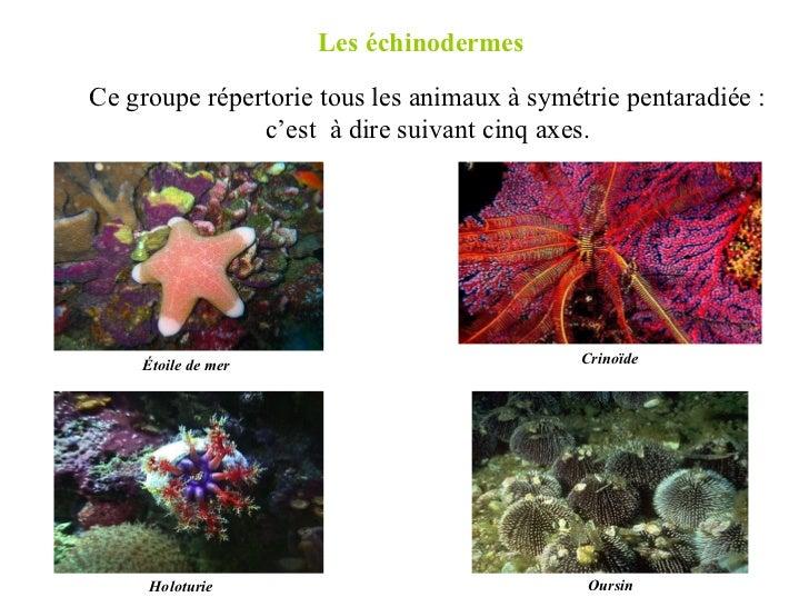 Les échinodermes  Ce groupe répertorie tous les animaux à symétrie pentaradiée : c'est  à dire suivant cinq axes. Étoile d...