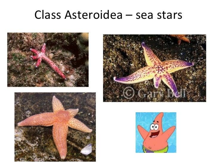 Class Asteroidea – sea stars