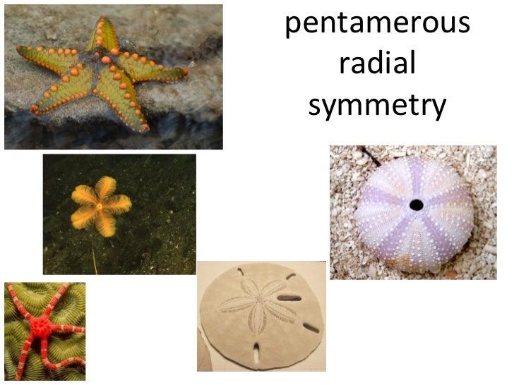 pentamerous   radial symmetry