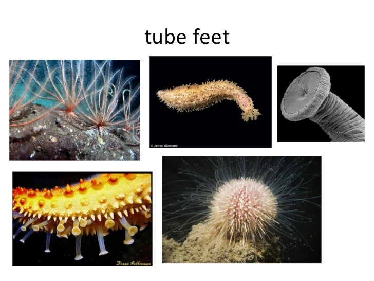 tube feet
