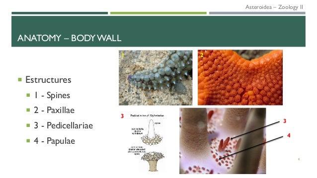 ANATOMY – BODY WALL  Estructures  1 - Spines  2 - Paxillae  3 - Pedicellariae  4 - Papulae 8 1 2 3 3 4 Asteroidea – Z...