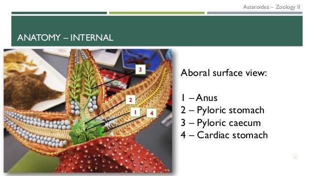 ANATOMY – INTERNAL 11 4 2 3 1 Aboral surface view: 1 – Anus 2 – Pyloric stomach 3 – Pyloric caecum 4 – Cardiac stomach Ast...