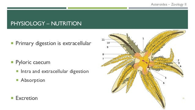 PHYSIOLOGY – NUTRITION  Primary digestion is extracellular  Pyloric caecum  Intra and extracellular digestion  Absorpt...