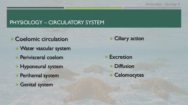 PHYSIOLOGY – CIRCULATORY SYSTEM  Coelomic circulation  Water vascular system  Perivisceral coelom  Hyponeural system ...