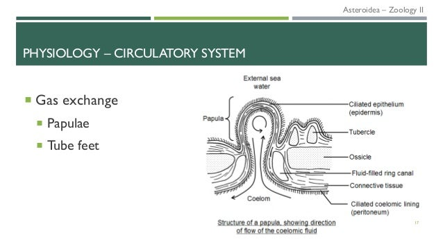  Gas exchange  Papulae  Tube feet 17 PHYSIOLOGY – CIRCULATORY SYSTEM Asteroidea – Zoology II