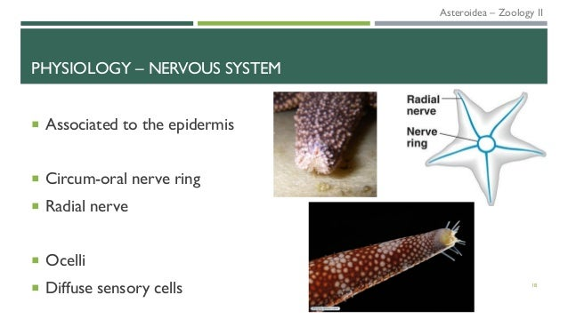 PHYSIOLOGY – NERVOUS SYSTEM  Associated to the epidermis  Circum-oral nerve ring  Radial nerve  Ocelli  Diffuse senso...