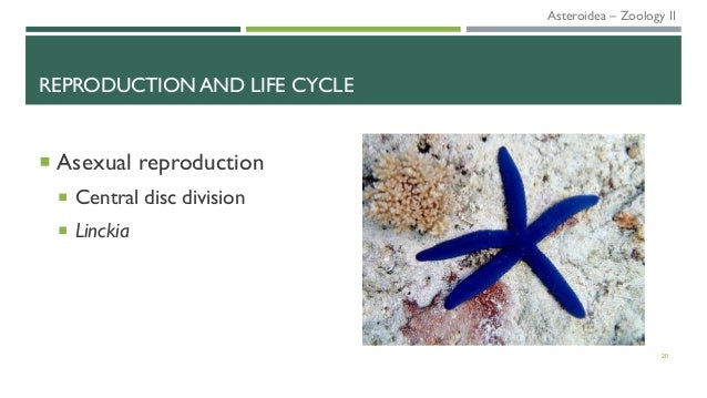 REPRODUCTION AND LIFE CYCLE  Asexual reproduction  Central disc division  Linckia 20 Asteroidea – Zoology II