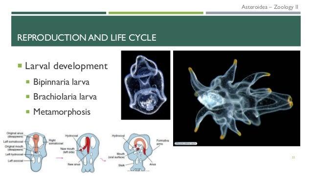 REPRODUCTION AND LIFE CYCLE  Larval development  Bipinnaria larva  Brachiolaria larva  Metamorphosis 22 Asteroidea – Z...