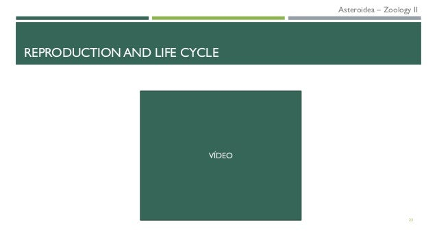 REPRODUCTION AND LIFE CYCLE 23 VÍDEO Asteroidea – Zoology II