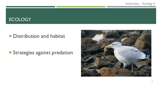 ECOLOGY  Distribution and habitat  Strategies against predation 25 Asteroidea – Zoology II