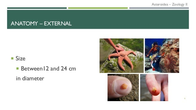 ANATOMY – EXTERNAL 6  Size  Between12 and 24 cm in diameter Asteroidea – Zoology II