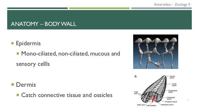 ANATOMY – BODY WALL  Epidermis  Mono-ciliated, non-ciliated, mucous and sensory cellls  Dermis  Catch connective tissu...