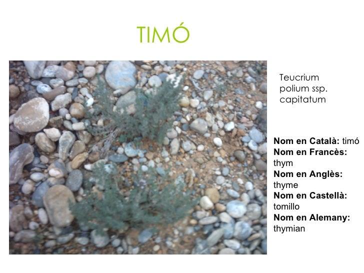 TIMÓ Teucrium polium ssp. capitatum   Nom en Català:  timó Nom en Francès:  thym Nom en Anglès:  thyme Nom en Castellà:  t...