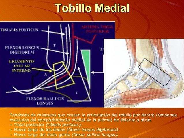Hermosa Tendones Anatomía Tobillo Ligamentos Adorno - Anatomía y ...