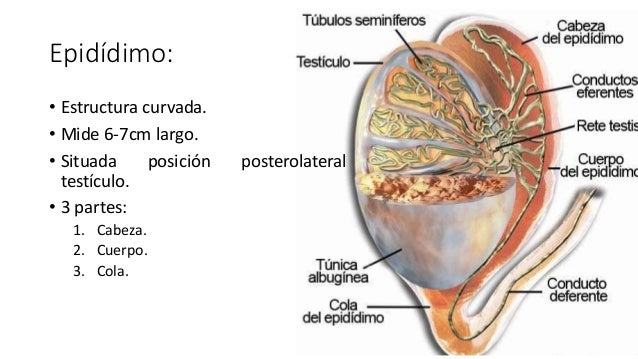 Ecografía de testículo