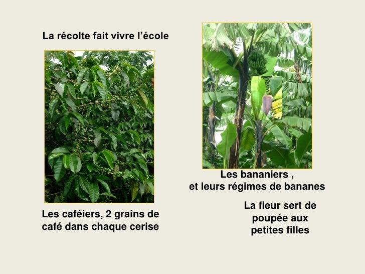 La récolte fait vivre l'école                                            Les bananiers ,                                 e...