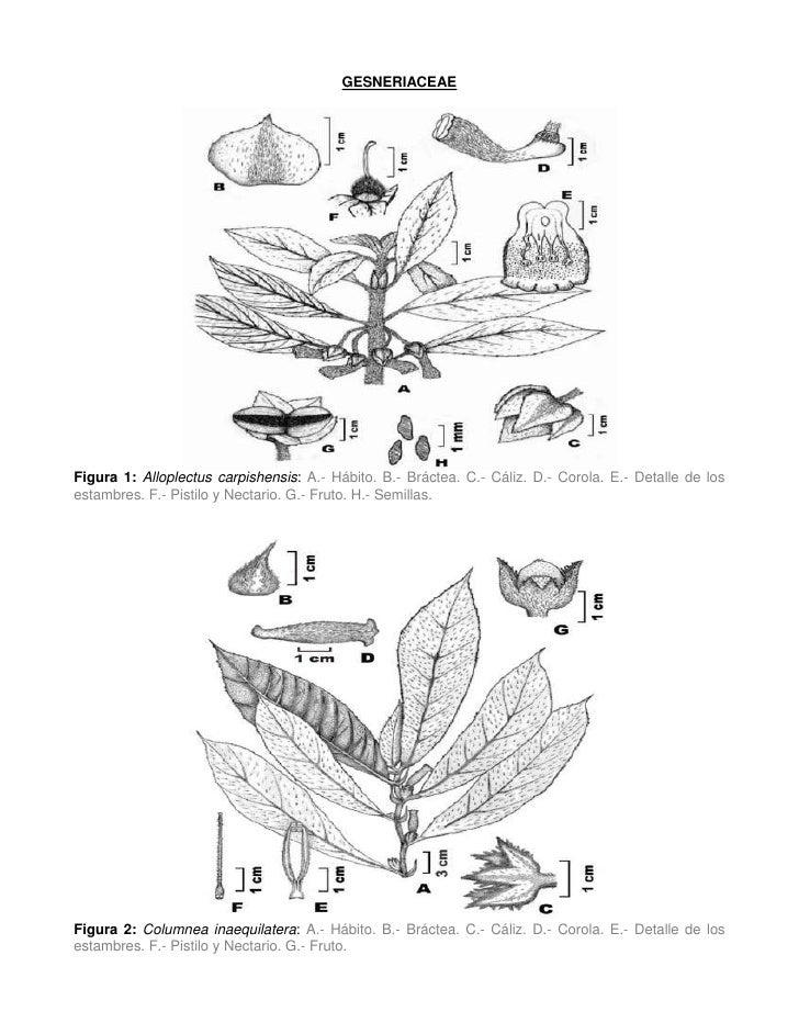 GESNERIACEAEFigura 1: Alloplectus carpishensis: A.- Hábito. B.- Bráctea. C.- Cáliz. D.- Corola. E.- Detalle de losestambre...