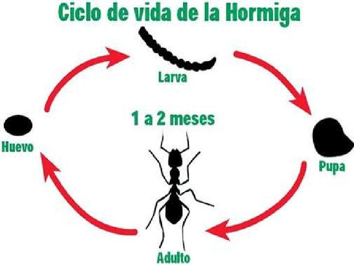 Lujo Anatomía De Una Hormiga Cresta - Anatomía de Las Imágenesdel ...