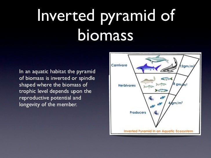 Inverted pyramid of             biomassIn an aquatic habitat the pyramidof biomass is inverted or spindleshaped where the ...