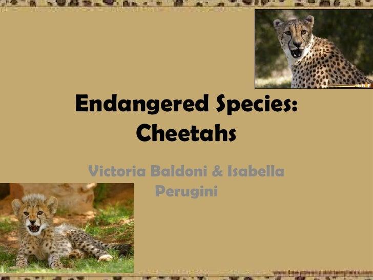 Endangered Species:    Cheetahs Victoria Baldoni & Isabella          Perugini