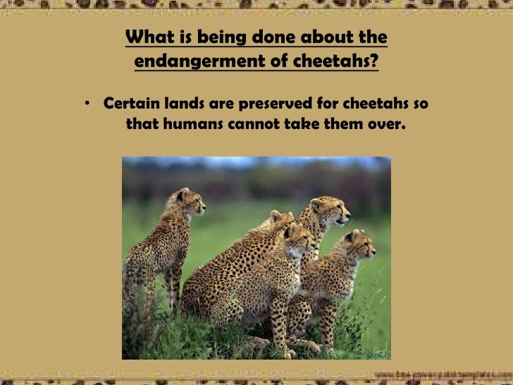the endangerment of the cheetah Considerable effort has been put into conservation of the critically endangered  asiatic cheetah acinonyx jubatus venaticusin iran during the.