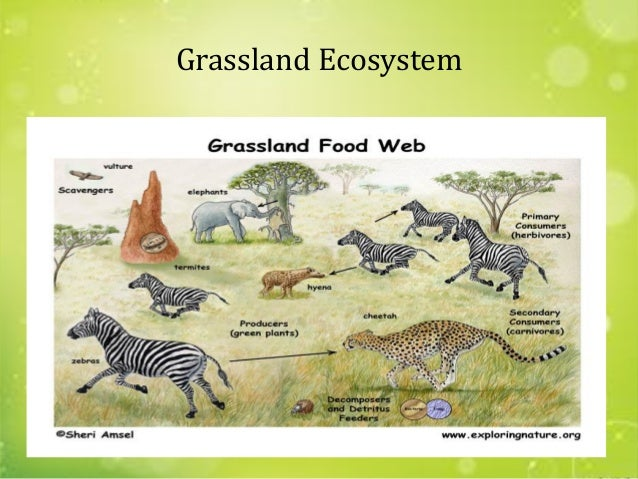 grassland ecosystems What are the primary pressures threatening grassland ecosystems the primary pressure on grassland ecosystems is outright conversion to other uses.
