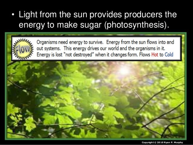 • Light from the sun provides producers the energy to make sugar (photosynthesis). Copyright © 2010 Ryan P. Murphy