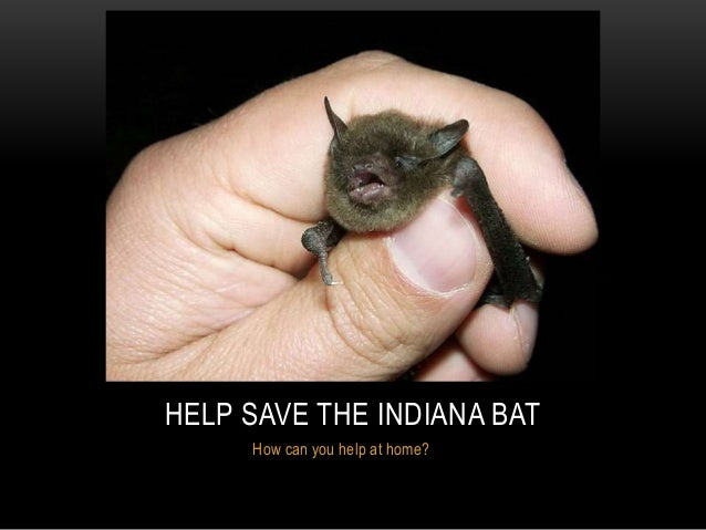 How can you help at home? HELP SAVE THE INDIANA BAT