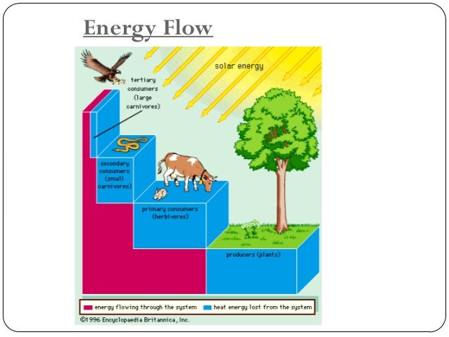 Ecological Pyramid  The energy of organisms gradually decrease from the producer level to the consumer level.  This can ...