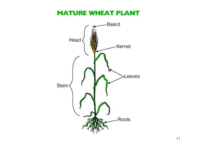 Growing wheat 11 12 ccuart Image collections