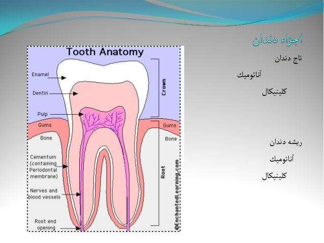 Anatomy And Morphology Of Teeth