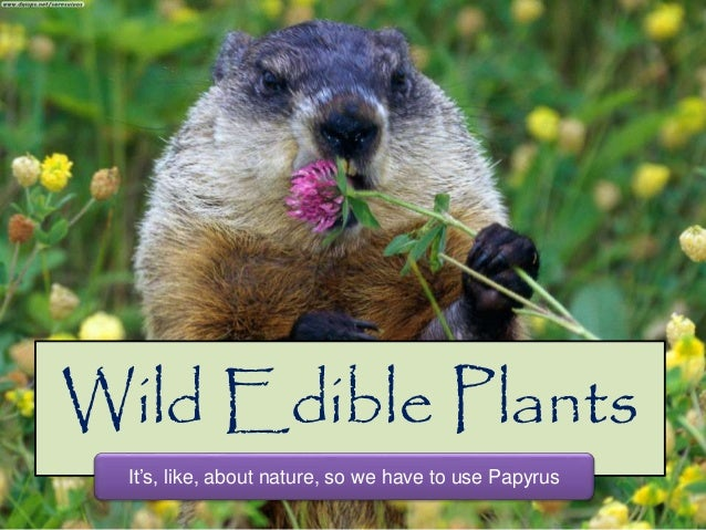 Wild Edible Plants It's, like, about nature, so we have to use Papyrus