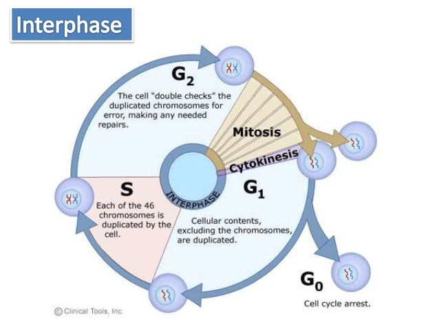 Cell cycle in detail interphase