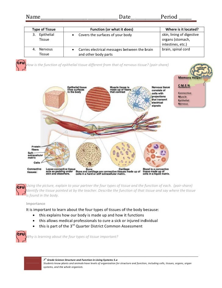 Cells And Tissues Worksheet - Stay At Hand