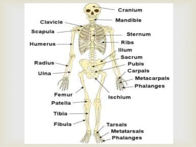 the skeletal system (nellz10186), Human Body