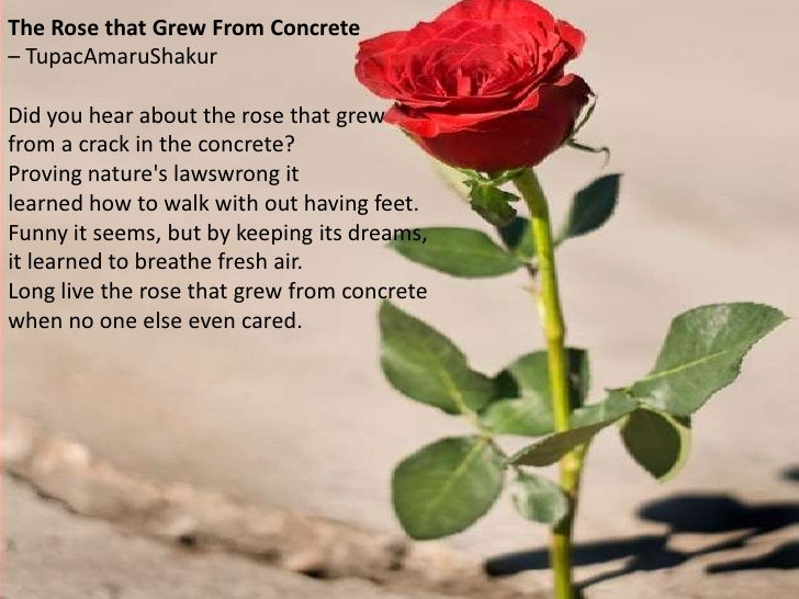 essay on the rose that grew from concrete