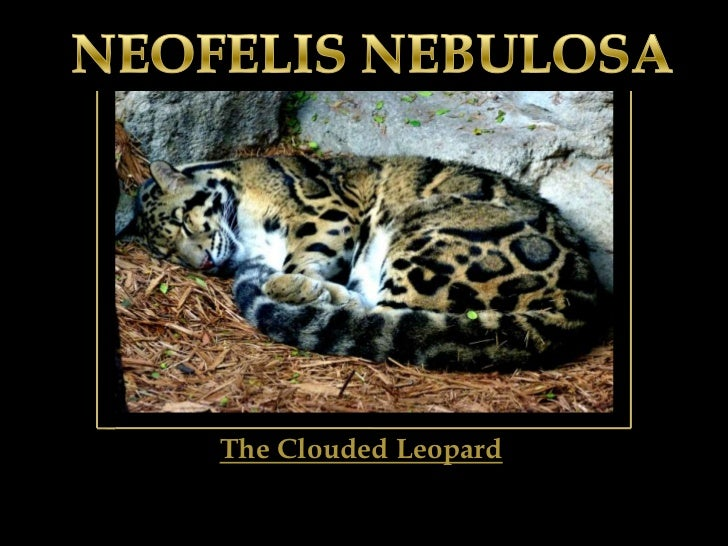 NEOFELIS NEBULOSA<br />The Clouded Leopard<br />