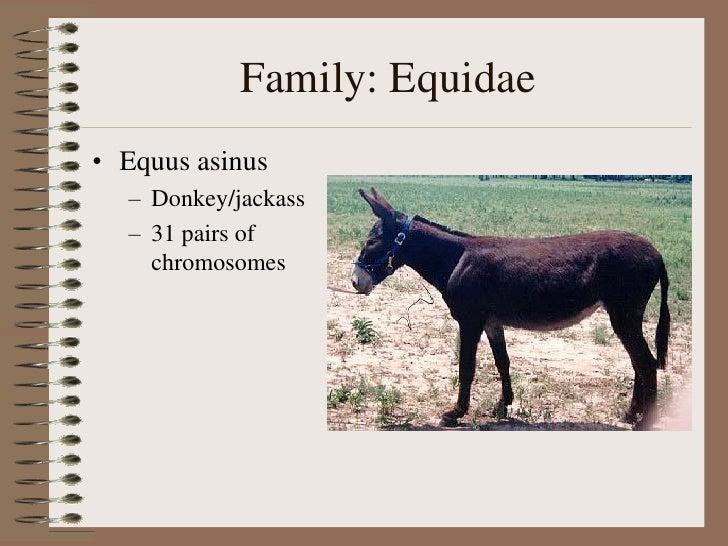 Jack ass equine