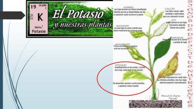 Efectos del nitr geno n y potasio for Potasio para plantas