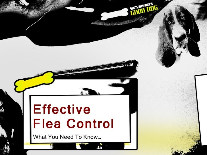 Effective  Flea Control What You Need To Know…