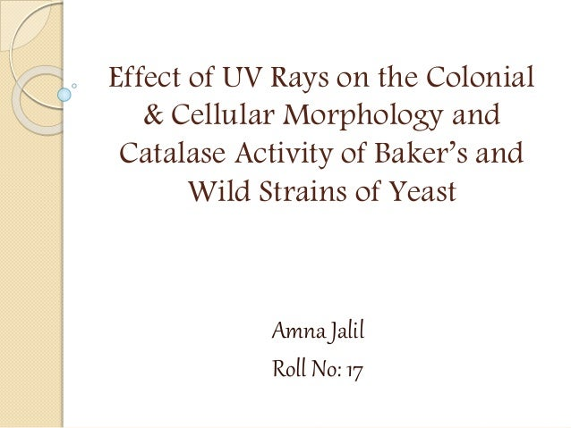 Effect of UV Rays on the Colonial & Cellular Morphology and Catalase Activity of Baker's and Wild Strains of Yeast Amna Ja...
