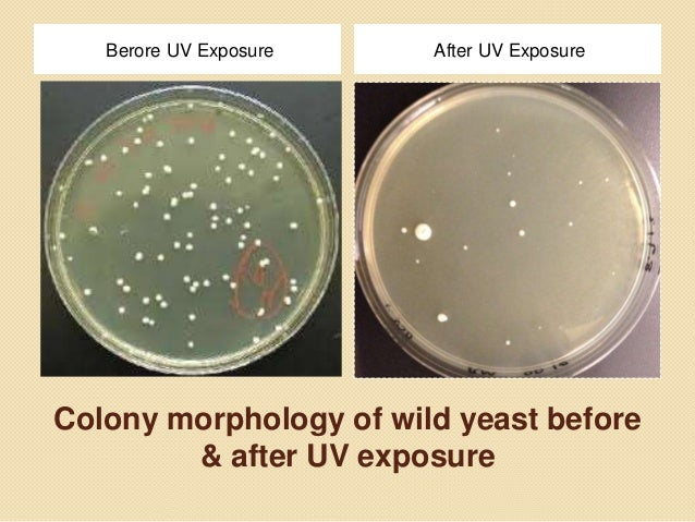 yeast mutations due to ultra violet How do mutations occur here is four classes or ways of  mutations due to error-prone replication bypass of naturally occurring  ultraviolet rays.
