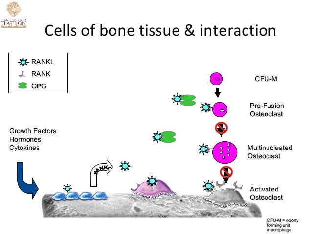 Effects Of Obesity On Bone Metabolism