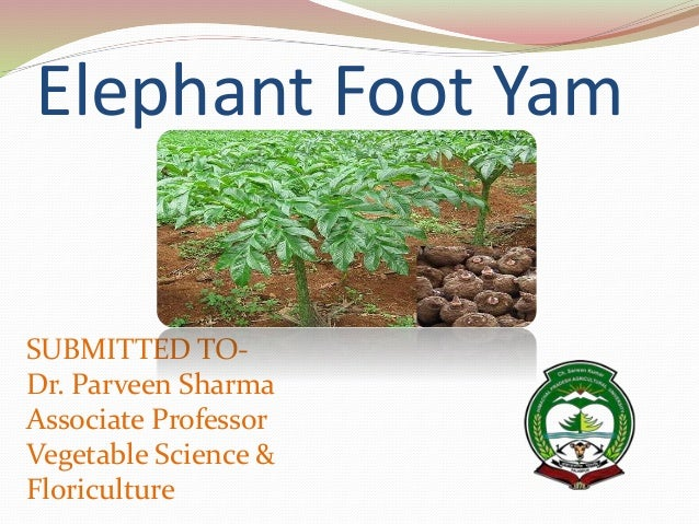 ELEPHANT FOOT YAM