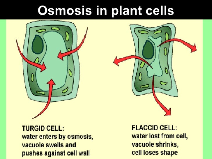 osmosis in potatoes This osmosis in potato slices lesson plan is suitable for 6th - 12th grade you may find this presentation helpful in setting up the classic experiment where potato wedges are used for observing the effects of osmosis.