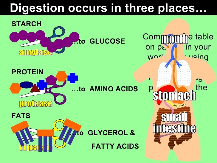 GCSE Biology Enzymes in digestion